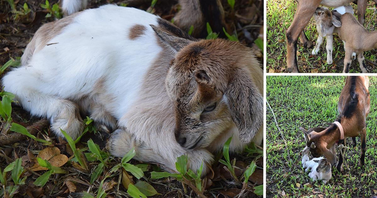 new goat babies